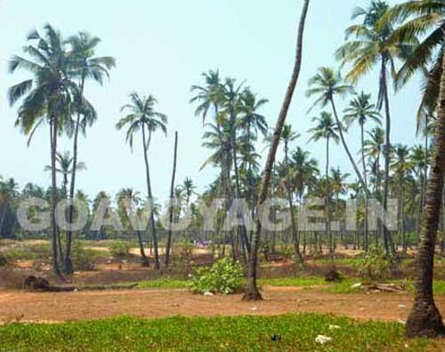 goa-beach-arambol-coconut-grove