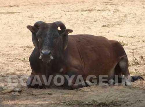goa-beach-arambol-cow