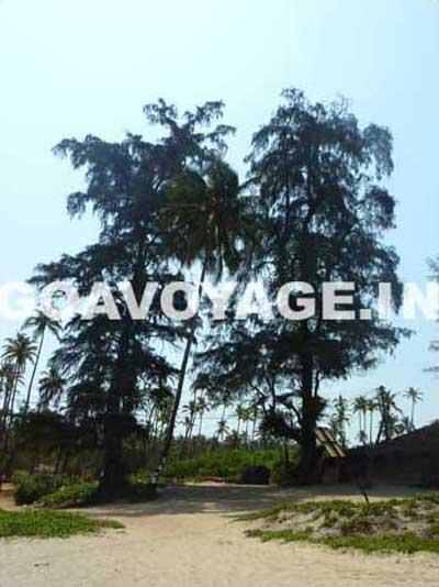 goa-beach-arambol-pine-tree