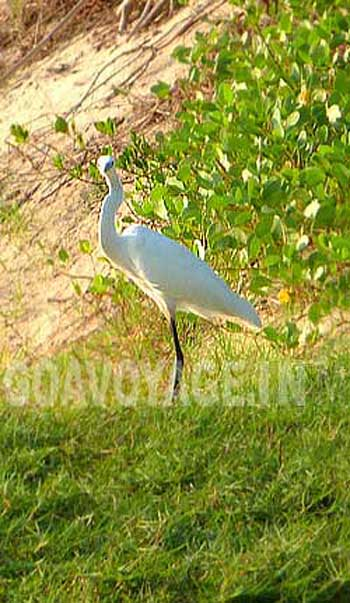 white wader bird in arossim, south goa india