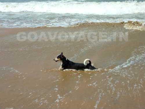 goa-beach-palolem-dog