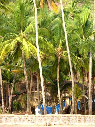 Coconut grove bording the beach in Canaguinim, South Goa, India