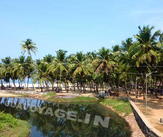 Coconut grove in Colva beach, south Goa, India