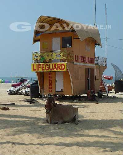 The lifeguard house with a cow in front in Colva beach in south Goa, India